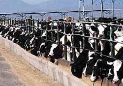 factory farm cattle